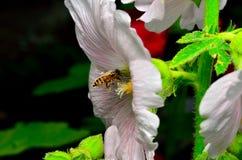 Tiro macro del aterrizaje de la abeja de la miel en una flor Fotos de archivo