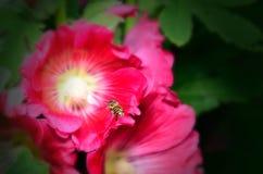 Tiro macro del aterrizaje de la abeja de la miel en una flor Imagen de archivo libre de regalías