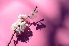 Tiro macro del flor del albaricoque cubierto por descensos de rocío Flores en un contexto rojo Fondo estacional de la primavera h Imágenes de archivo libres de regalías