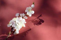 Tiro macro del flor del albaricoque cubierto por descensos de rocío Flores en un contexto rojo Fondo estacional de la primavera h Imagen de archivo libre de regalías