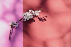 Tiro macro del flor del albaricoque cubierto por descensos de rocío Flores en un contexto rojo Fondo estacional de la primavera h Imagen de archivo