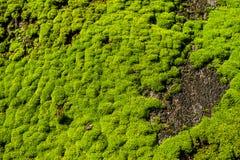 Tiro macro del musgo verde claro en la roca Fotografía de archivo libre de regalías