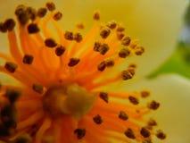 Tiro macro del polen y del estambre del SP de Schima fotos de archivo libres de regalías