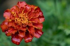 Tiro macro del primer de la flor de la maravilla que muestra los pétalos anaranjados foto de archivo libre de regalías
