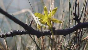 tiro macro del primer 4k de la pequeña flor salvaje amarilla del campo almacen de video