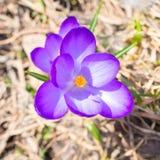 Tiro macro do açafrão violeta da flor da mola Fotos de Stock