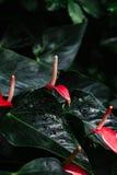 tiro macro do antúrio de poucas muitas flores do vermelho com obscuridade - folhas do verde e gotas da água Fotografia de Stock Royalty Free