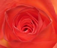Centro de uma rosa fotografia de stock royalty free