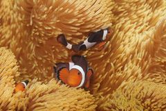 Tiro macro do clownfish fotografia de stock