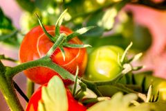 Tiro macro do tomates maduros e tomates verdes Fotos de Stock Royalty Free