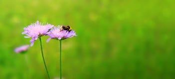Tiro macro en abeja y la flor púrpura Foto de archivo