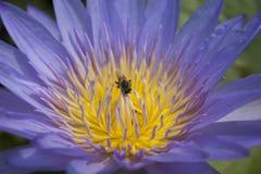 Tiro macro en la abeja que pulula en la flor de loto Foto de archivo libre de regalías
