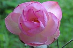 Tiro macro en la flor de loto rosada Foco suave imagen de archivo