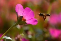 Tiro macro estupendo de la abeja que come la miel en flor dulce de la margarita Fotos de archivo libres de regalías