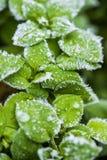 Tiro macro fascinador de la planta conífera congelada con descensos helados Imagen de archivo
