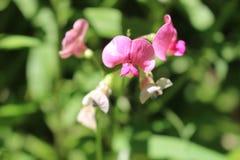 Tiro macro floreciente de las flores salvajes de Ontario Imagen de archivo libre de regalías