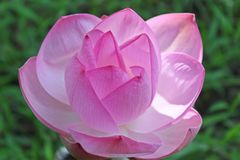 Tiro macro na flor de lótus cor-de-rosa Foco macio fotografia de stock royalty free