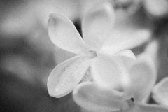Tiro macro preto e branco do lilás Imagens de Stock Royalty Free