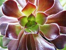 Tiro macro suculento del Aeonium Foto de archivo libre de regalías