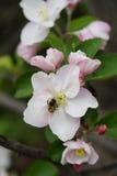 Tiro macro vertical de la floración en flores de la primavera del manzano Imagen de archivo