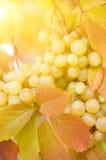 Tiro maduro del primer de las uvas imagenes de archivo