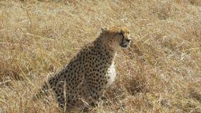 Tiro medio de un guepardo femenino que se sienta en la tierra en masai Mara almacen de metraje de vídeo
