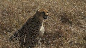Tiro medio de un guepardo femenino que se sienta en masai Mara, Kenia almacen de video