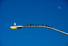 Tiro muy interesante de pájaros en poste ligero todo sino UNO que hace frente a la misma dirección. Foto de archivo libre de regalías