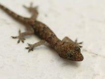 Tiro muy pequeño de la macro de la salamandra Fotografía de archivo libre de regalías