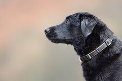 Tiro negro de la cabeza de Labrador Fotografía de archivo