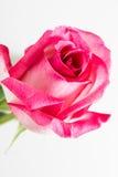 Tiro oscuro de la macro de la rosa del rosa Imágenes de archivo libres de regalías