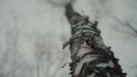 Tiro panorâmico dos troncos de árvores de vidoeiro na floresta do inverno filme