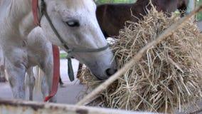 Tiro próximo de um cavalo de baía, comendo o feno na exploração agrícola filme