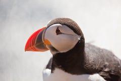 Tiro próximo de um papagaio-do-mar Imagem de Stock