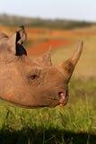 Tiro preto da cabeça do rinoceronte Imagem de Stock