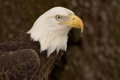 Tiro principal da águia americana (5) Imagem de Stock Royalty Free