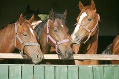 Tiro principal de caballos criados en línea pura imagen de archivo libre de regalías