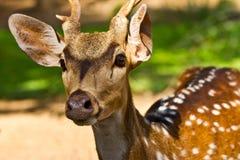 Tiro principal de ciervos manchados fotografía de archivo libre de regalías