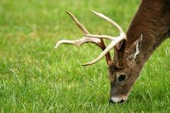 Tiro principal de pastar los ciervos (dólar) Foto de archivo libre de regalías