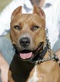 Tiro principal de Pitbull do nariz vermelho Imagem de Stock Royalty Free