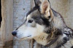 Tiro principal de um cão de trenó Foto de Stock Royalty Free