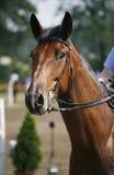 Tiro principal de um cavalo bonito da ligação em ponte da mostra do puro-sangue na ação Fotografia de Stock Royalty Free