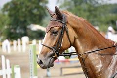 Tiro principal de um cavalo bonito da ligação em ponte da mostra do puro-sangue na ação Imagem de Stock Royalty Free