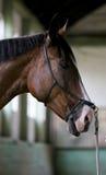Tiro principal de um cavalo de sela desportivo no treinamento no salão da equitação Imagem de Stock Royalty Free