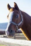 Tiro principal de um cavalo de sela no fance da cerca Imagens de Stock Royalty Free