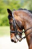 Tiro principal de um cavalo do adestramento do puro-sangue fora Foto de Stock