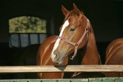 Tiro principal de um cavalo do puro-sangue Fotografia de Stock Royalty Free