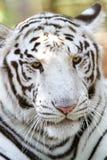 Tiro principal de um tigre do branco de bengal Fotos de Stock Royalty Free