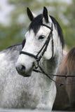 Tiro principal de uma cena rural do cavalo cinzento do puro-sangue Fotos de Stock Royalty Free
