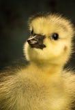 Tiro principal de un ganso canadiense recién nacido Foto de archivo libre de regalías
